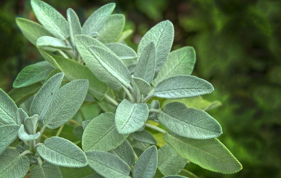 tanaman obat daun sage