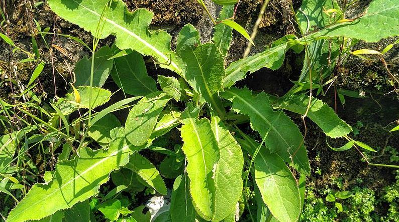 daun tempuyung