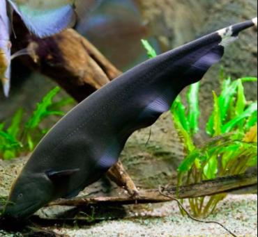 12+ Ikan hias air tawar yang mudah berkembang biak ideas in 2021