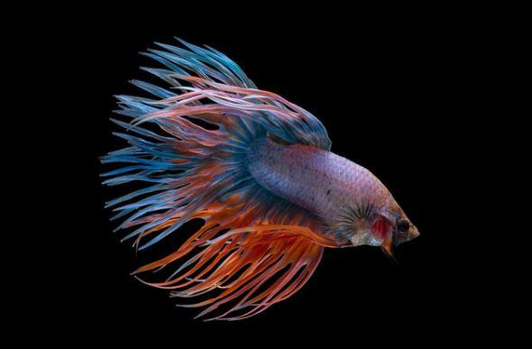 jenis ikan cupang crown tail