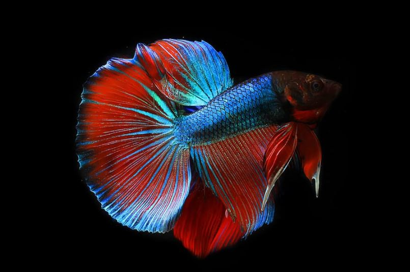 jenis ikan cupang fancy