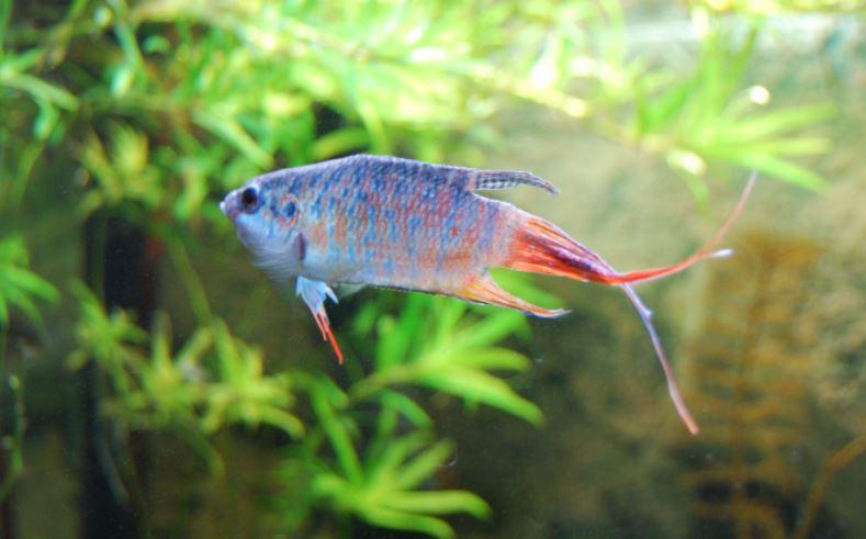 jenis ikan cupang paradise