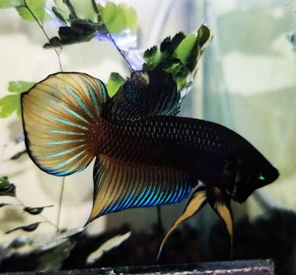 20 Jenis Ikan Cupang Yang Bisa Anda Pilih Untuk Dipelihara Blog Ruparupa