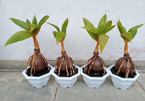 bibit bonsai kelapa