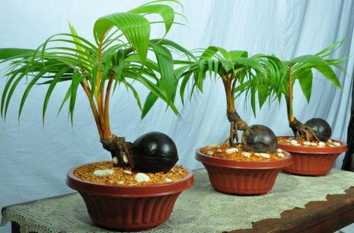 bonsai-kelapa