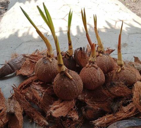 membersihkan batok kelapa