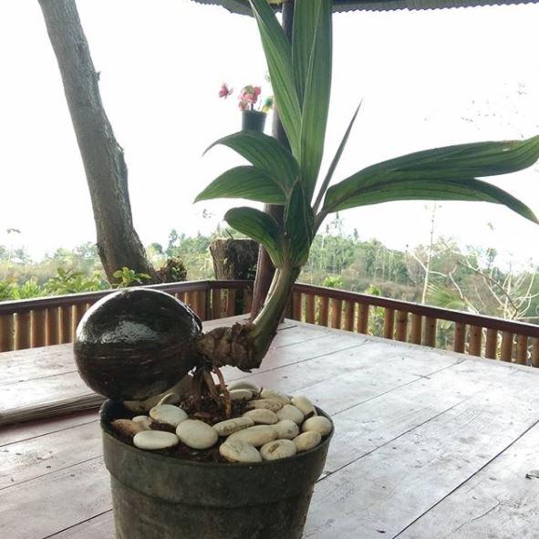 bentuk bonsai kelapa