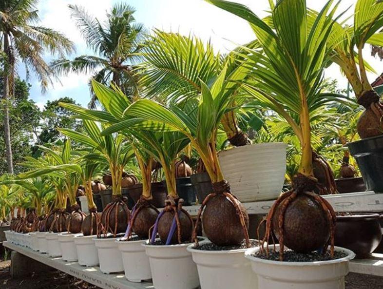 jenis bonsai kelapa