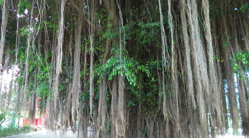 pohon beringin segar
