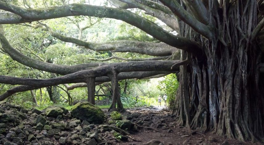 pohon beringin besar