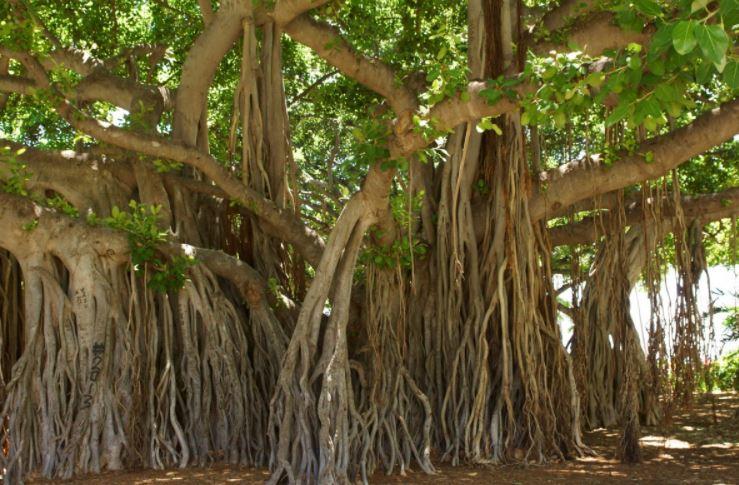 akar pohon beringin