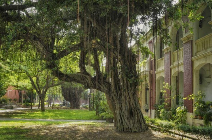 pohon beringin lembab