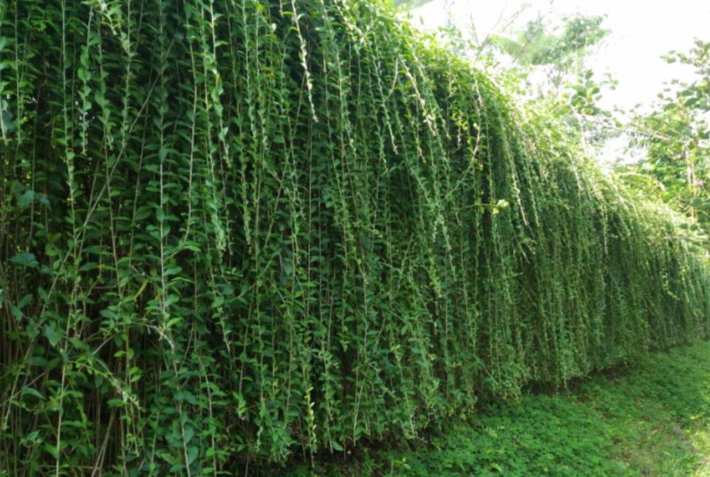 tanaman hias rambat lee kwn yew