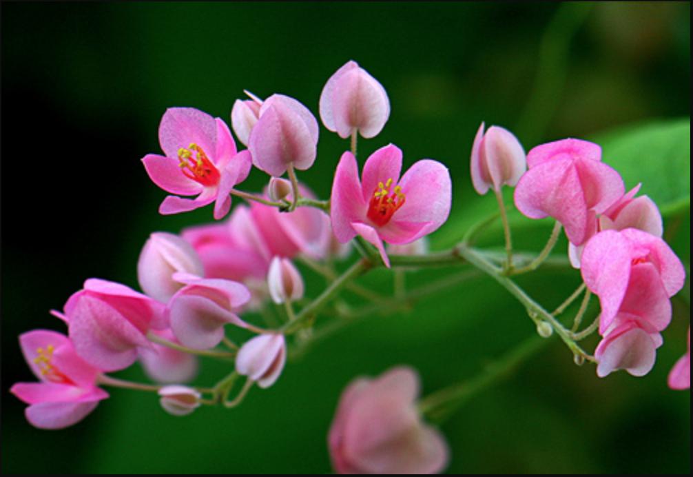 Ornamental plant for bridal tears