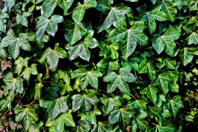 Boston ivy ornamental vines