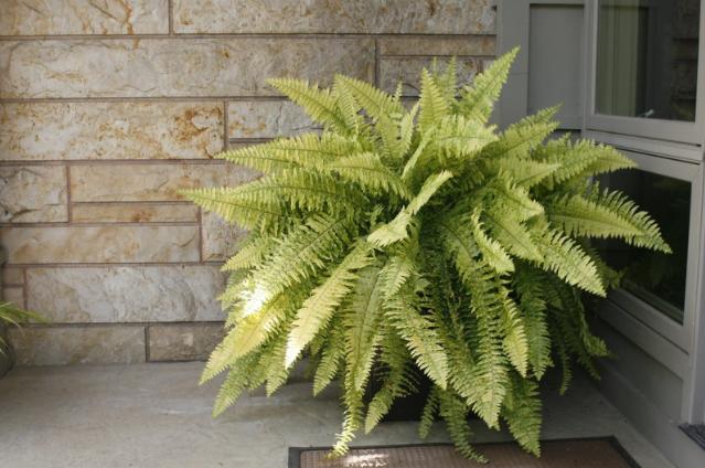 boston indoor plants