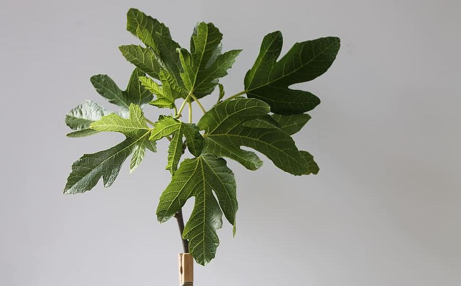fig indoor plant