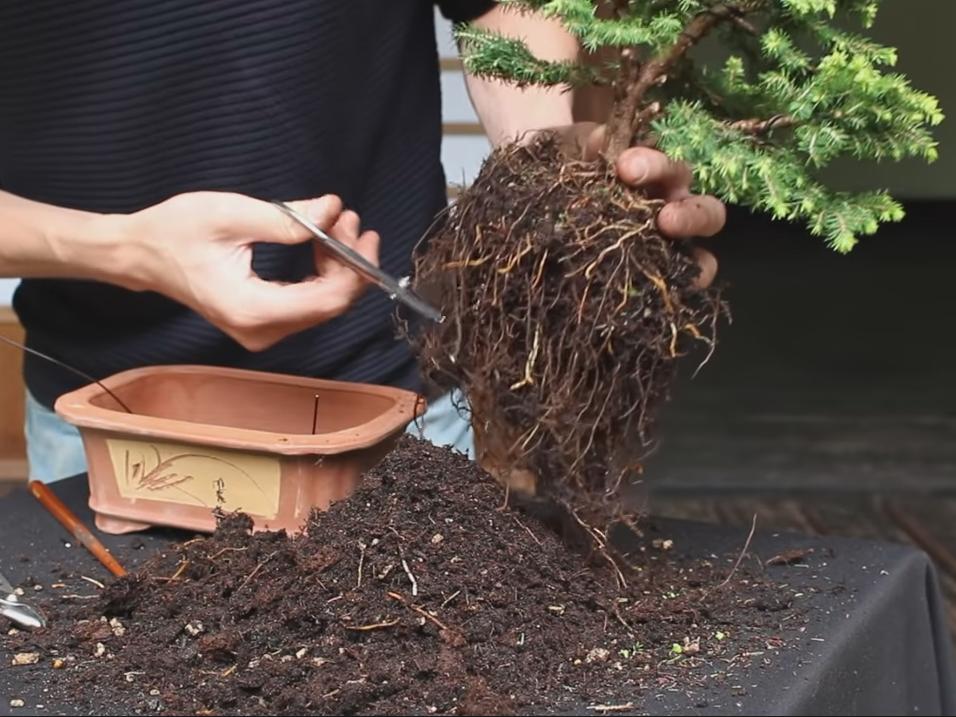 prune long roots