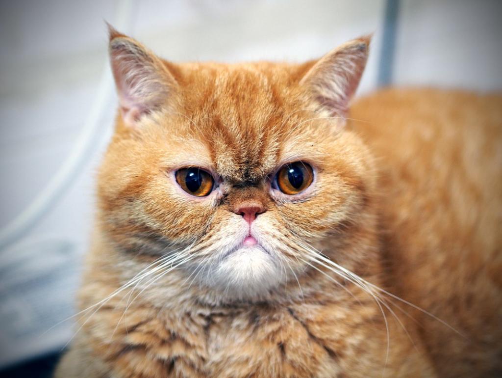 nama kucing jantan oranye