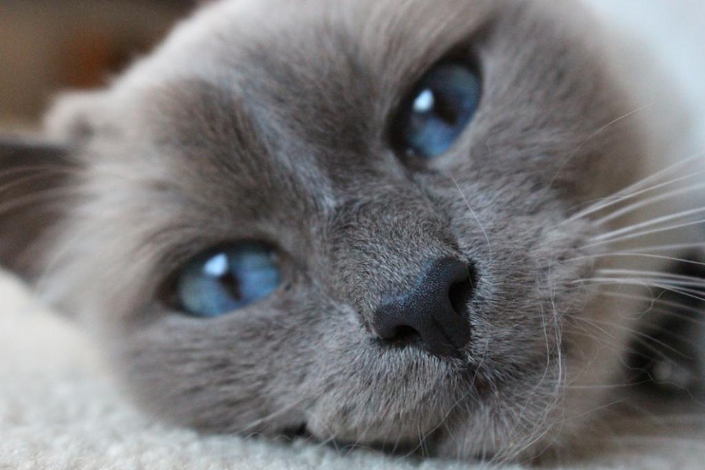 kucing jantan hitam putih
