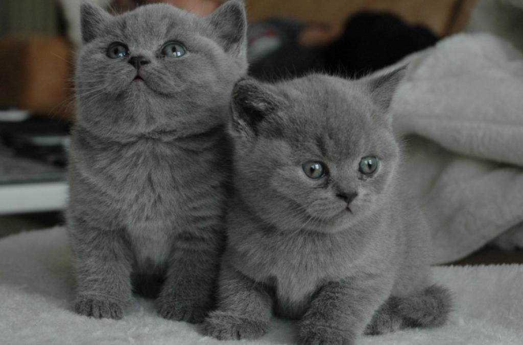 nama kucing jantan abu-abu