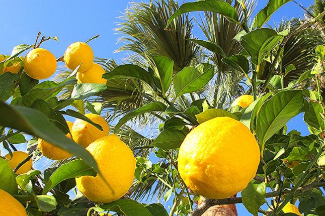 tanaman outdoor lemon