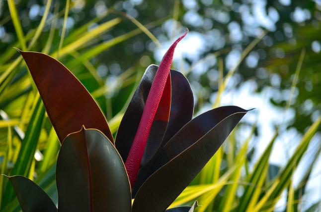 tanaman karet