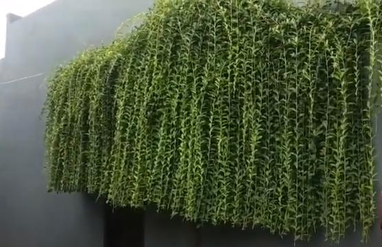 lee kuan yew plant
