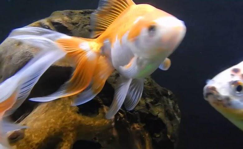 Ikan Mas Koki Fantail