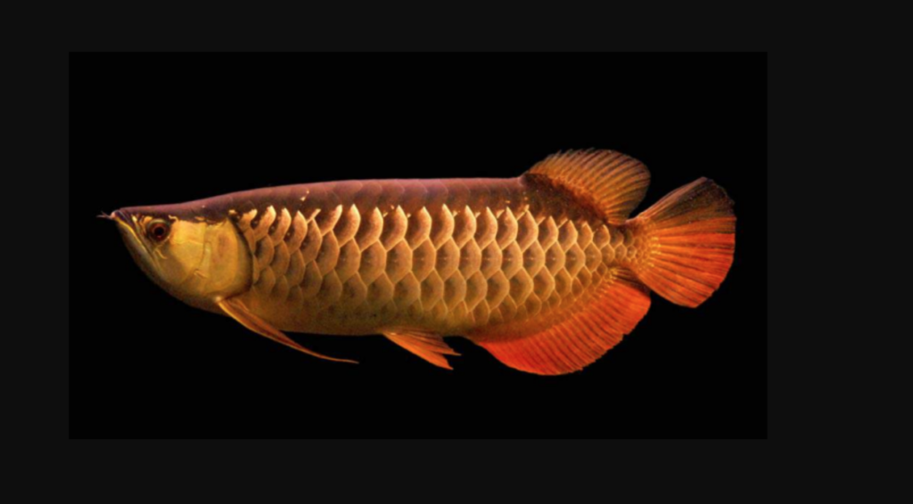 Ikan Arwana Red Tail Golden