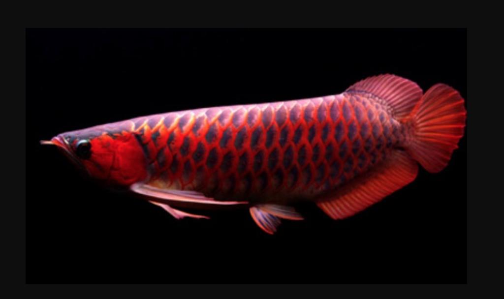 Jenis Ikan Arwana Super Red