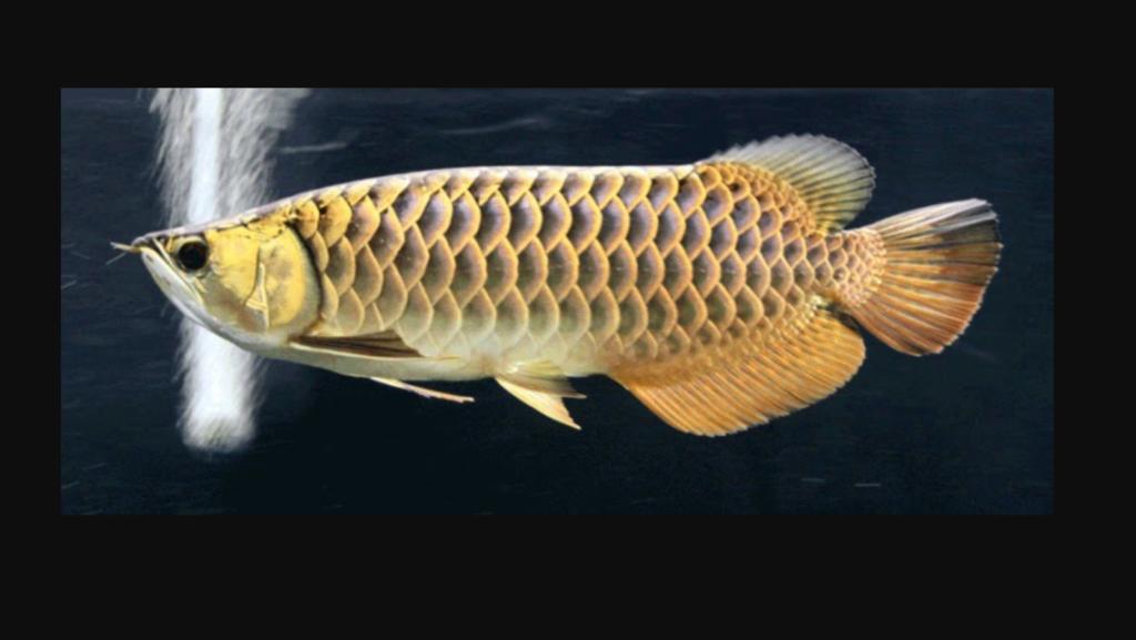 Ikan Arwana Black Golden