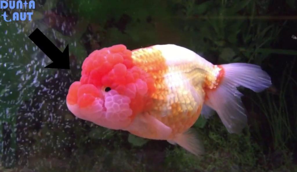 Jenis Ikan Mas Lionhead