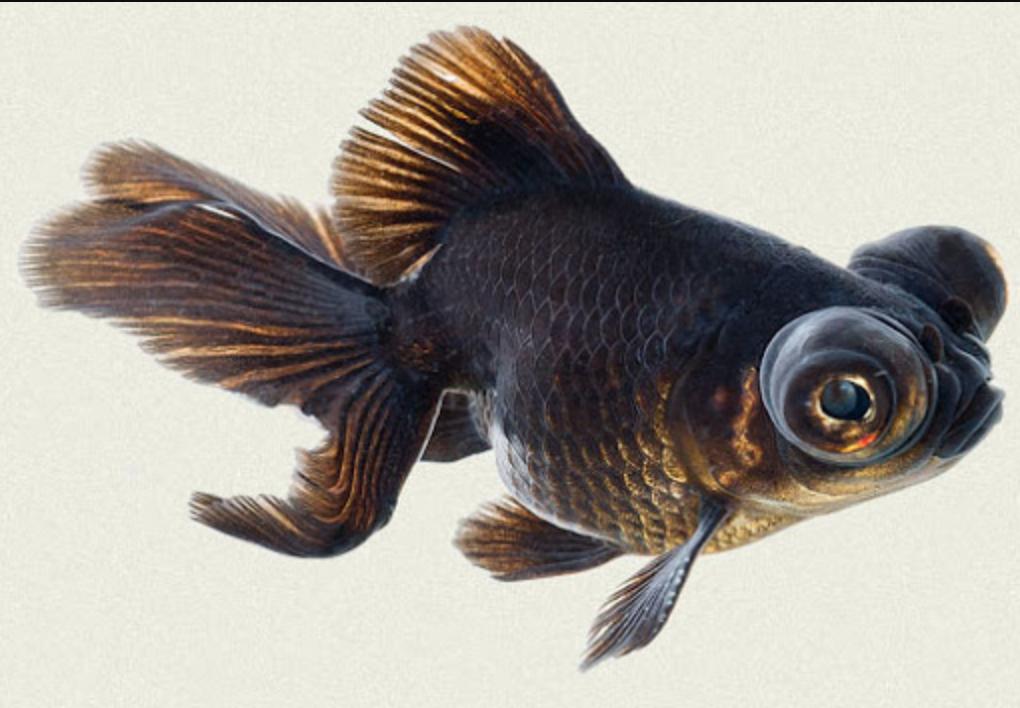 Fancy Telescope Goldfish atau mata naga