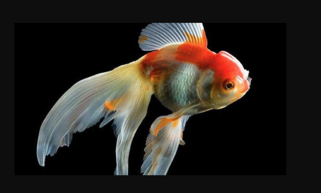 The Curled-Gill goldfish