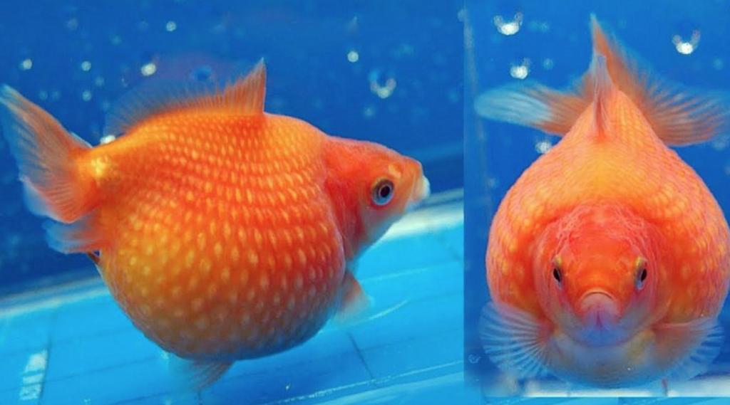 Jenis Ikan Mas Mutiara