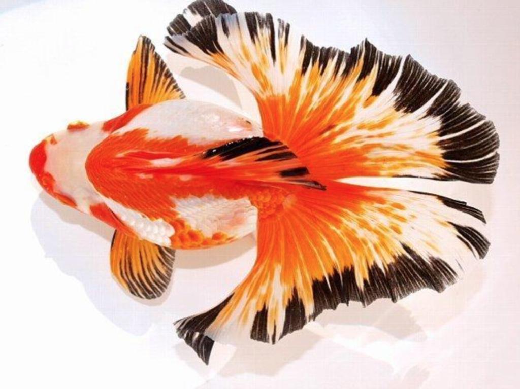 Ikan Koki Butterfly Tail