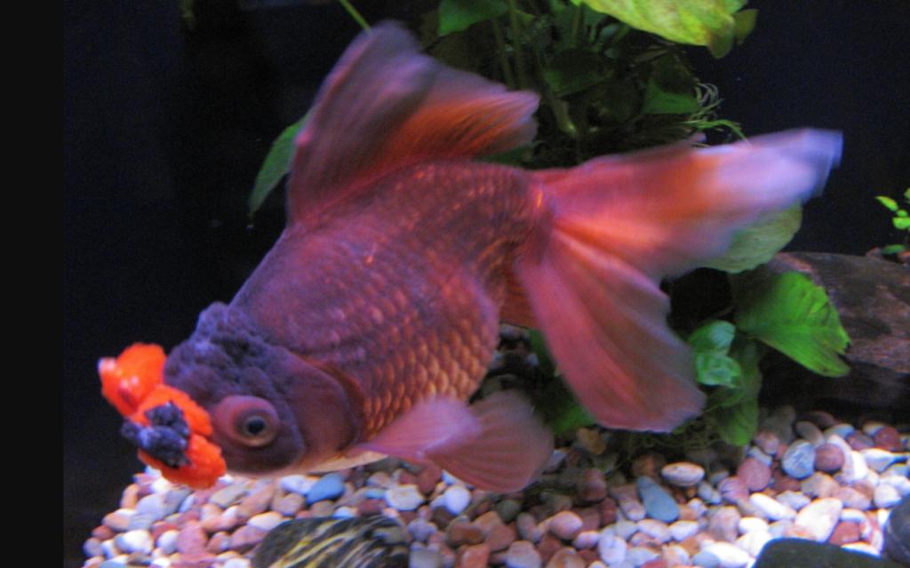Hanfusa goldfish