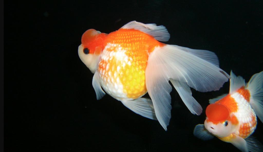 Hama Nishiki Goldfish