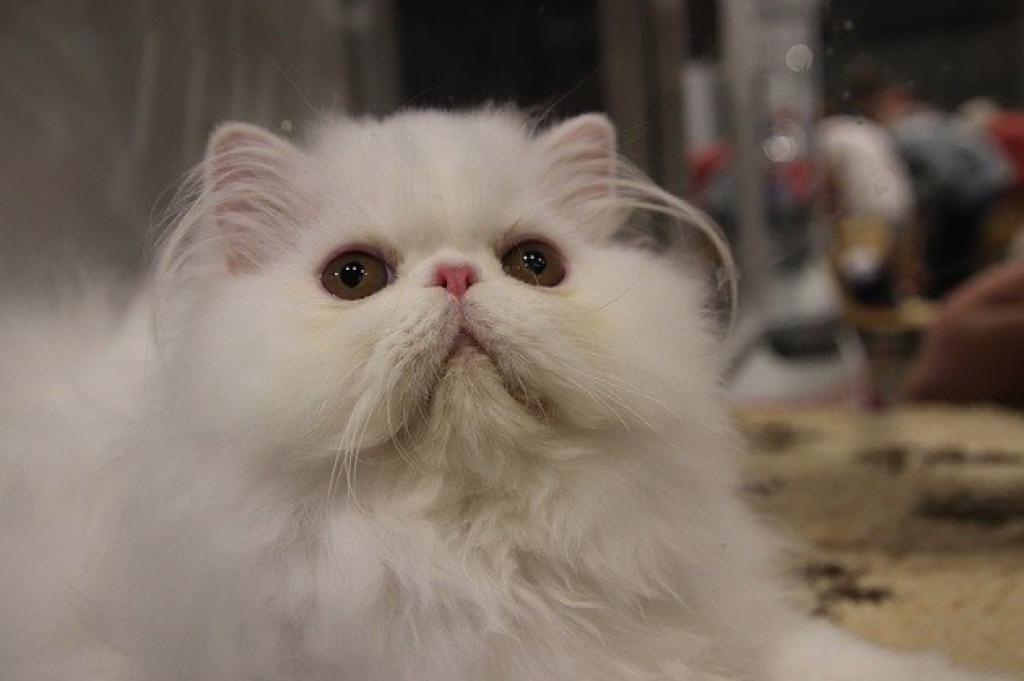 Perbedaan Kucing Persia Peaknose, Flatnose, dan Medium
