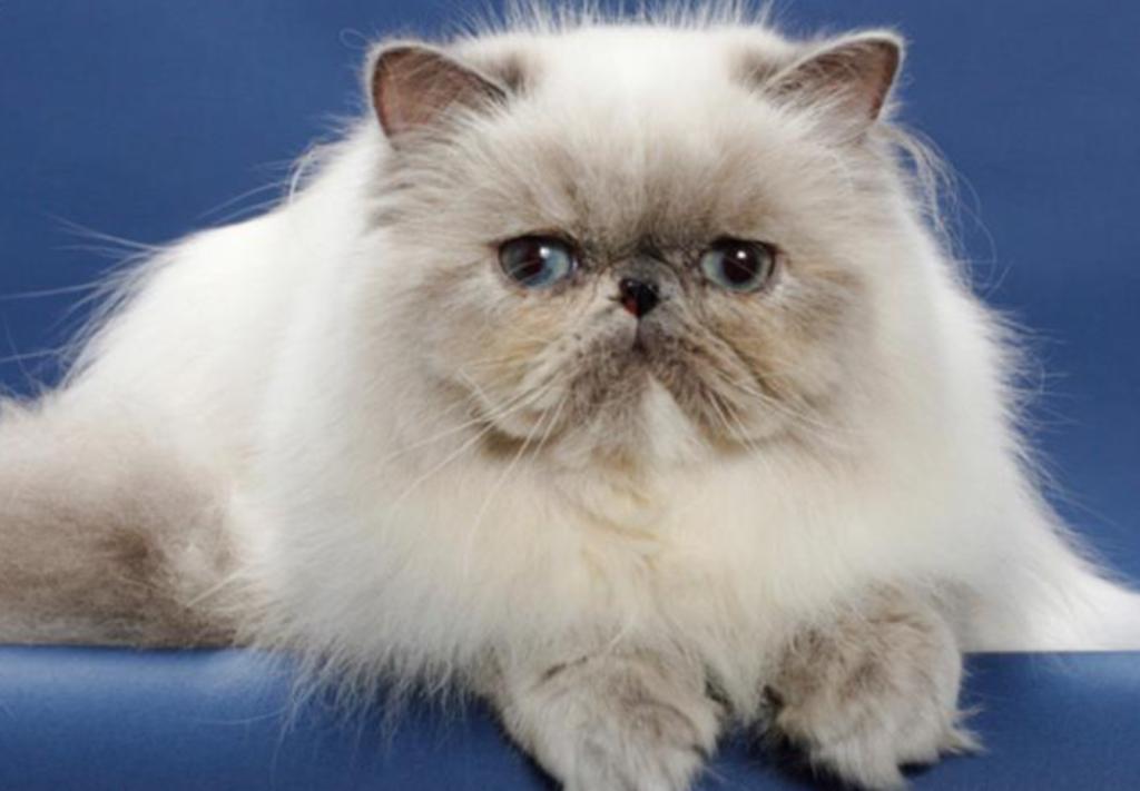 Gambar kucing pekanose
