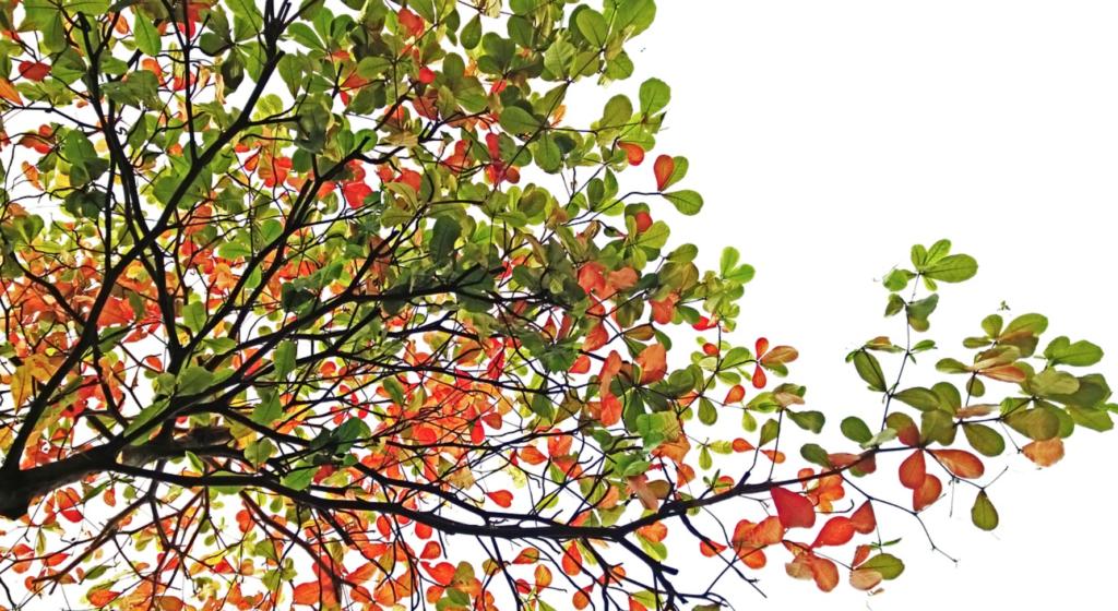 Image of a ketapang tree