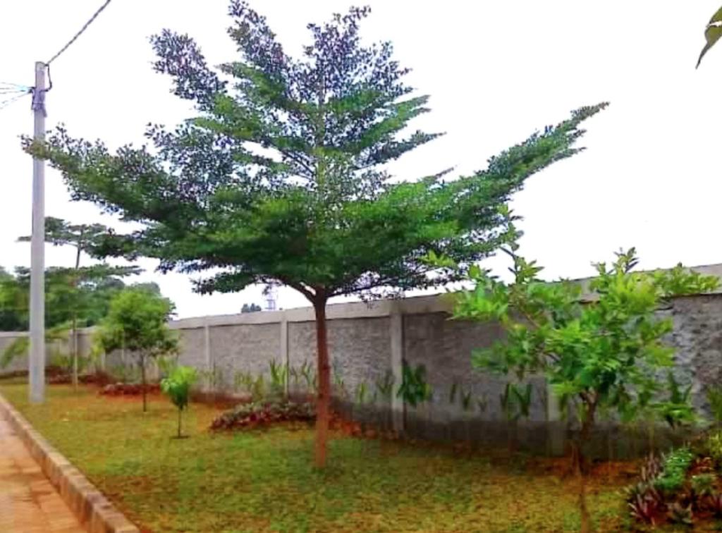 Sintani Ketapang tree