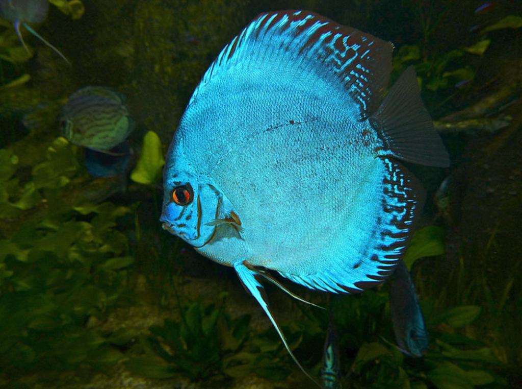 ikan cobalt discus