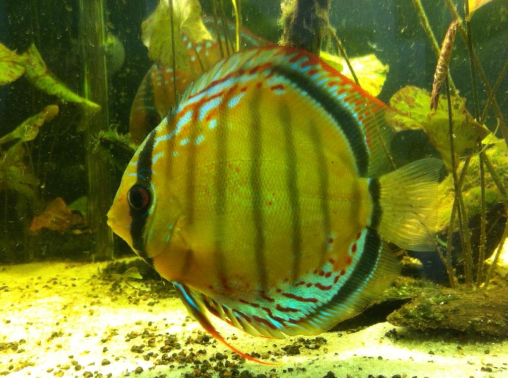 ikan green discus