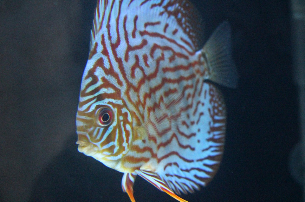 ikan red turquoise discus