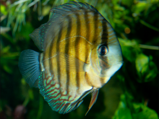 ikan brown discus