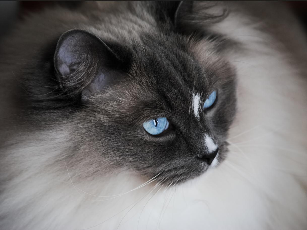 kucing ragdoll dengan mata biru