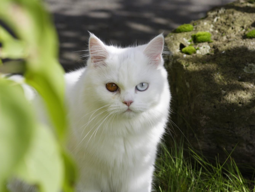 kucing persia dengan mata biru
