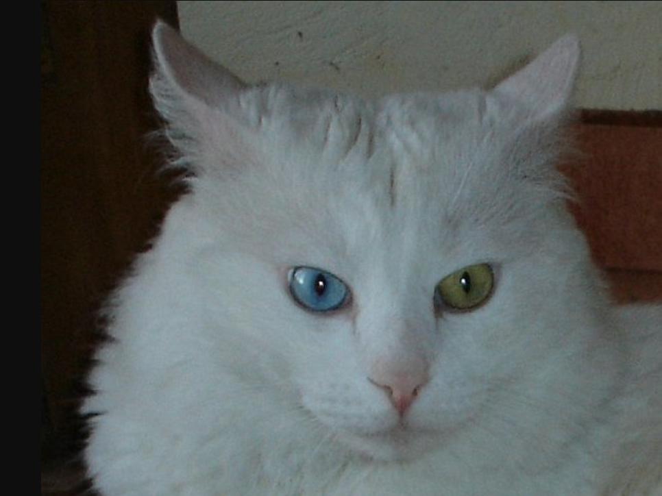 kucing angora dengan mata biru